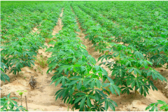 Large Scale Cassava Cultivation on Field