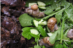 Snails Feeding on Leaves, Vegetables, Tubers Crops, etc.
